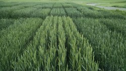 Planting Tips for Winter Wheat