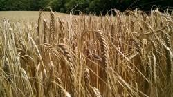Malting Barley Variety Trial
