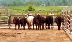 Cornell Bull Test Sign-up is Underway