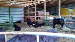 Feeder Calf Pool Sale Set, December 16