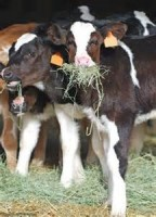 Can value be added to Holstein bull calves?