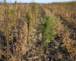 Be on the Lookout for Horseweed...A.K.A Marestail