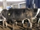 Holstein Market Cow Feeding Project