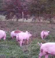 Commissioner Urges Swine Owners to use Best Practices to Prevent Disease Spread