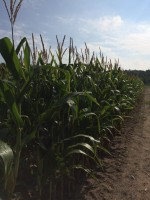 New York State Corn Silage Hybrid Trials - 2016
