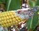 Managing Western Bean Cutworm with Bt's - A Reality Check