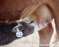 Colostrum and Calf Productivity in our Cow/Calf Operations