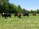 Managing Spring Grass Growth and Selective Grazing