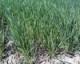 Spring Barley 2012 - 2010