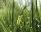 Frost Damage in Barley
