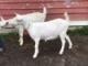 Breeding Goats Out of Season
