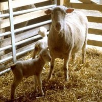Five Major Concerns During Kidding and Lambing