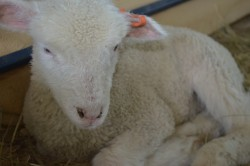 Marketing Your Lambs and Goats at the Auction