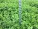 Alfalfa Seeding Rates Revisted