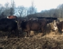 Winter Feeding Beef Cows